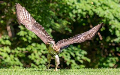 Sports Photography Skills applied to Wildlife Action Photography